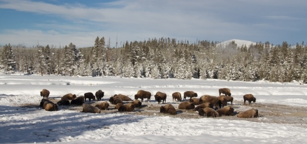 Bison herd near Norris Junction