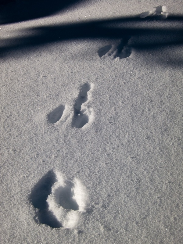 Snowshoe hare tracks (coming towards you!)
