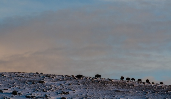 Bison on a ridge at sunrise